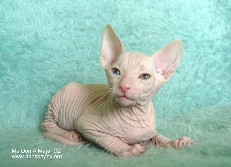 Don Sphynx kitten, white, odd eyed, male