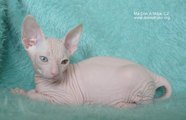 White don sphynx kitten, odd eyed