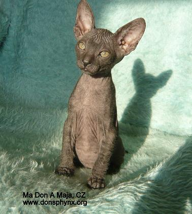 Don Sphynx kitten, black male
