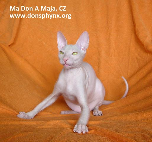 Don Sphynx Cat, white with orange eyes