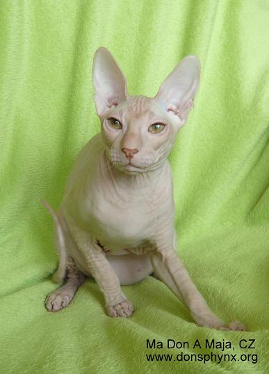 Don Sphynx male kitten red tabby