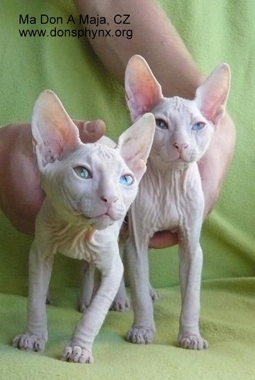 two odd-eyed don sphynx kittens, siblings